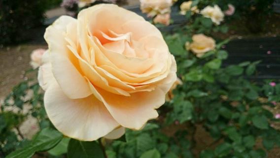 花フェスタ2