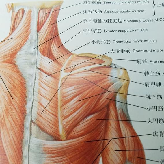 肩甲骨内側の筋肉がコリ過ぎると痛みを伴う。その原因と調整方法は?